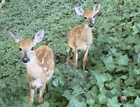 Two fawns in the forest near Murphey Candler Park.