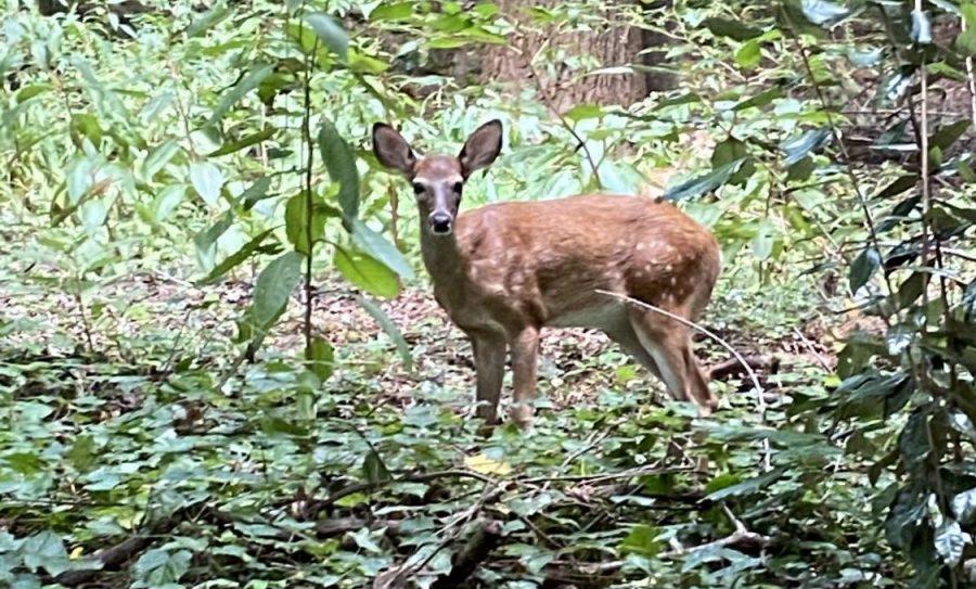 A deer at Murphey Candler Park.
