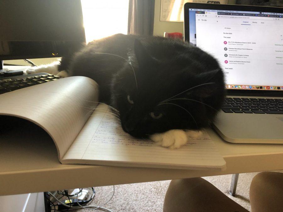 Calvin, staff writer Sirianna Blanck's cat